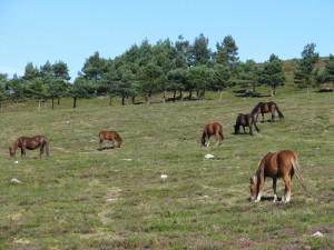 wilde pferde grasen auf der höhe