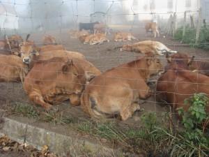 junge kühe und stiere dösen auf der nebligen weide