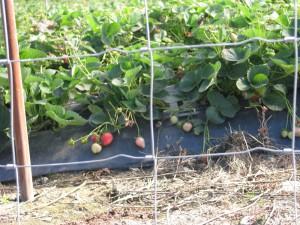 rote erdbeeren im oktober